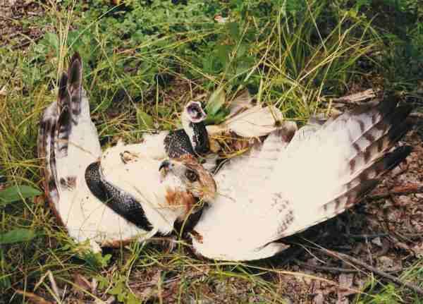 http://www.backwoodsbound.com/hawk_snake600.jpg