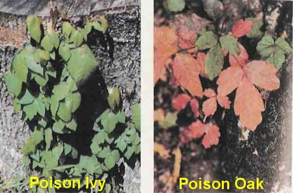poison ivy plant fall. poison ivy plant fall. poison